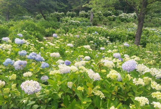 京都舞鶴自然文化園 あじさい 6月