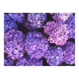 紫 あじさい